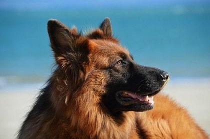 German Shepherd or Alsatian