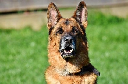 German Shepherd Puppy Training And Exercise