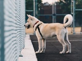 dog staring at fence