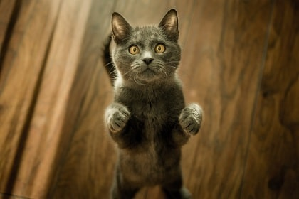 cat standing on her hind legs