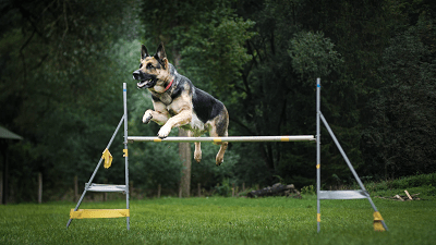 large dogs jumping over a hurdle