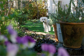 A white dog in a garden