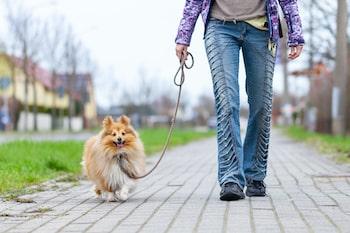 pomeranian walking with a dog walker
