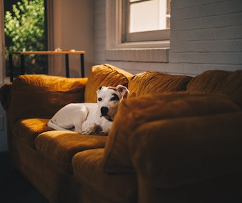 a dog on a sofa