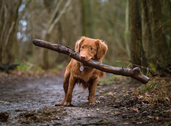 a dog with a log in her mouth