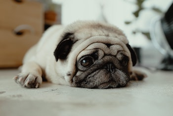 a pug lying on the floor