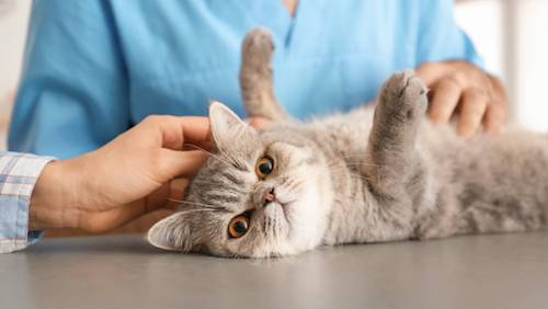 Are cats immune to the COVID-19