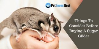 Things To Consider Before Buying A Sugar Glider Featured Image