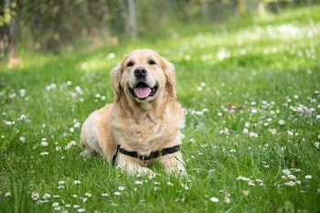 a retriever dog in lawn