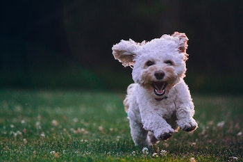 a running toy breed dog