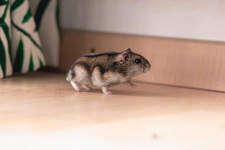 A running hamster
