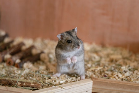 hamster standing on his two hind legs