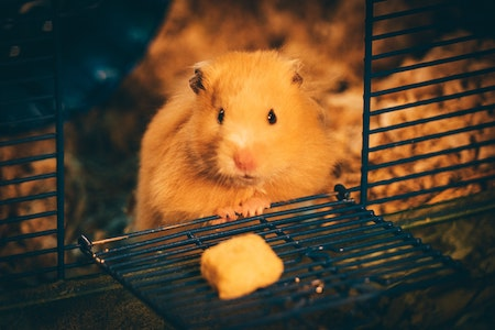 what does a hamster eat?