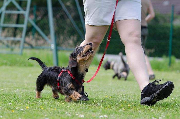 a dog walking on a harness