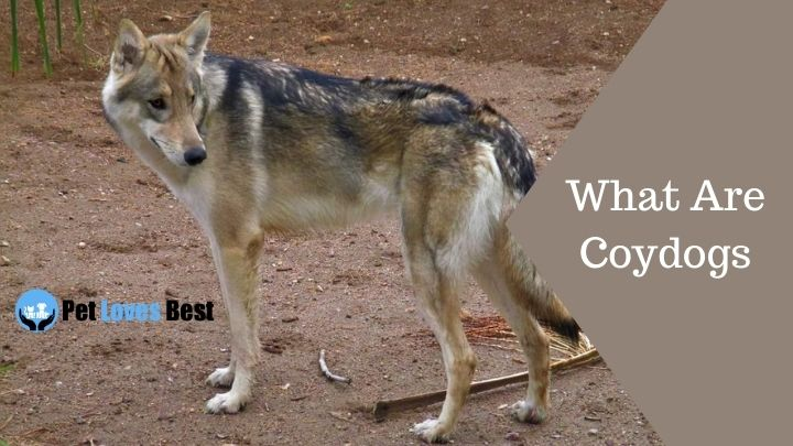 What Are Coydogs Featured Image