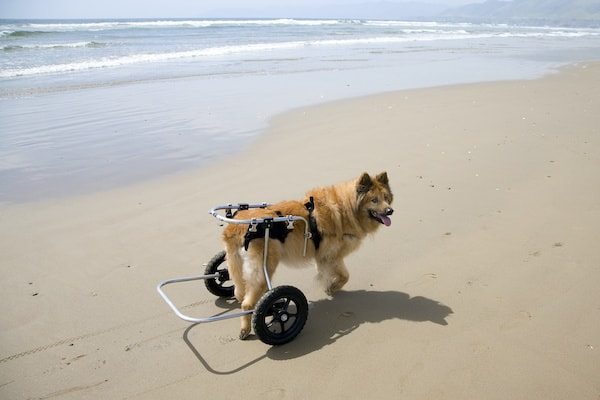 Wheelchairs for Large Dogs