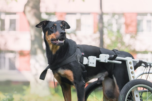 use alternative therapies for your disabled dogs